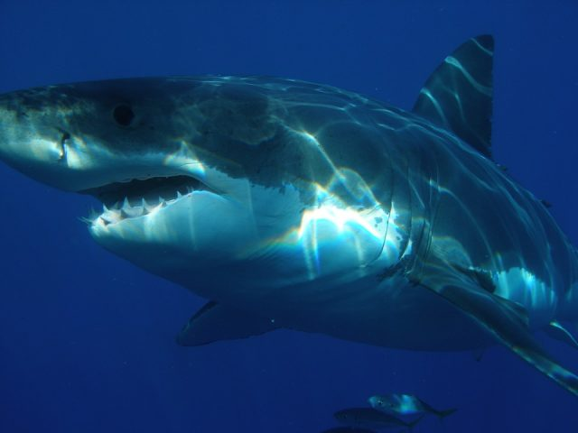 Wondering what to see in Australia? why not see the great white shark