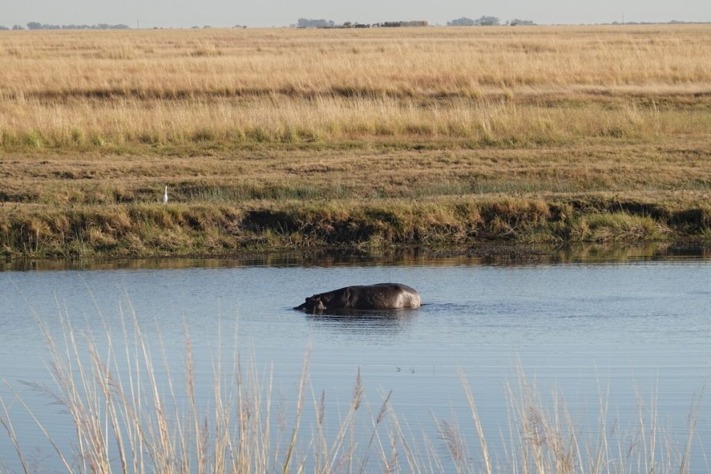 View of a hippo in chobe river from Ihaha campsite