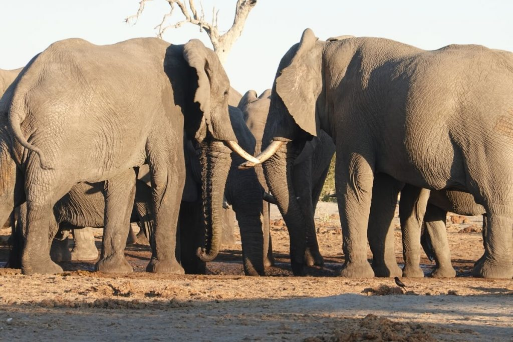 Elephants at chobe national park in botswana