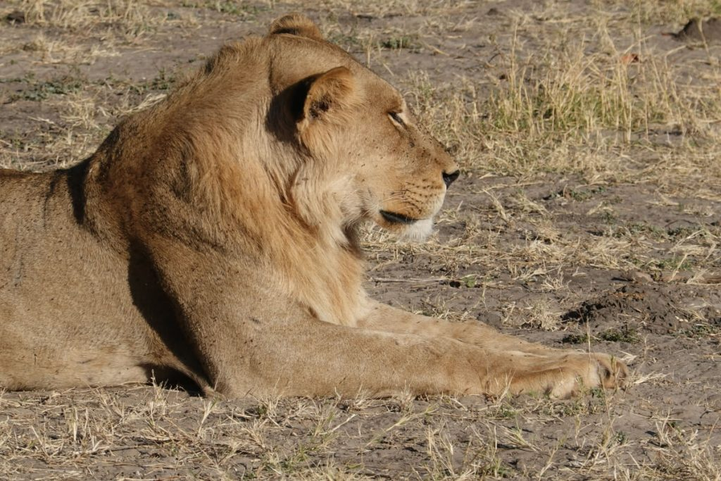 Lion at chobe river in chobe national park