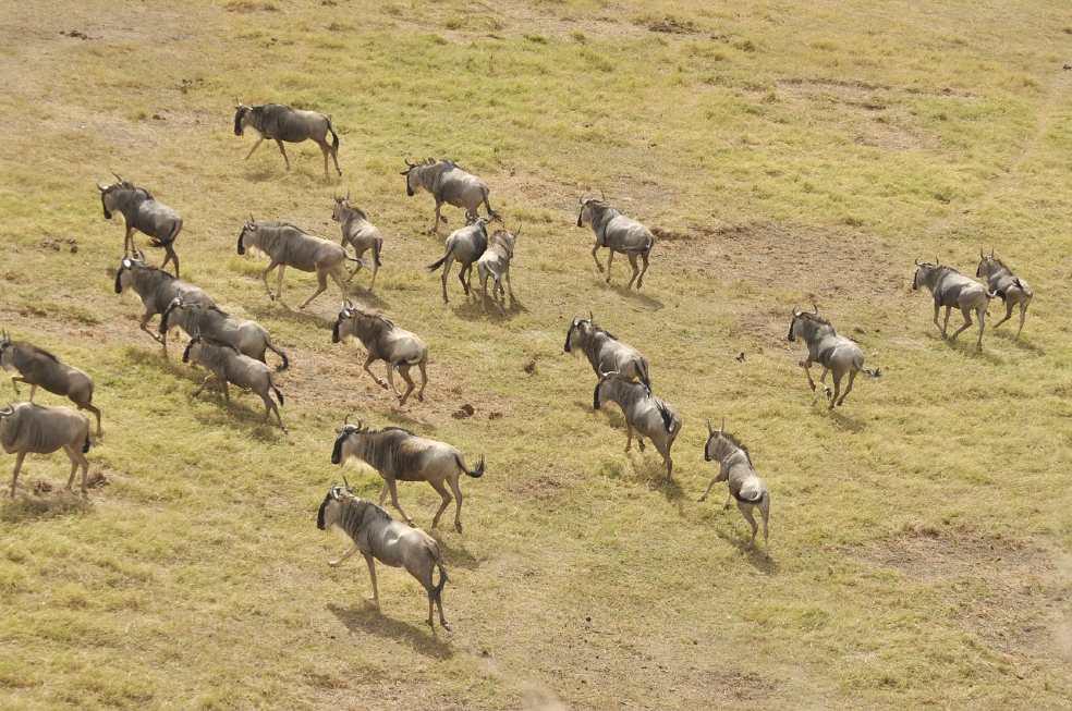 wildebeest migration-masai mara (1)
